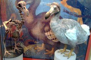 Dodo.FUglen. Foto: Wikimedia Commons/BazzaDaRambler